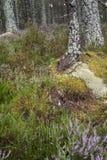 Abernethy skognatur i den Cairngorms nationalparken av Skottland Arkivbild