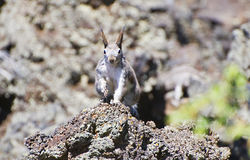 Abert's Squirrel. Abert's, or tassel-eared, squirrel momentarily perched on volcanic lava rock Royalty Free Stock Image