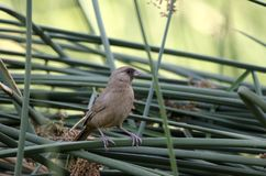 Abert ` s Towee鸟在香蒲, Sweetwater沼泽地栖息在图森亚利桑那美国 库存照片