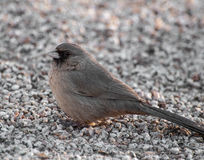 Abert's towhee. This bird is a member of the finch family. The abert's towhee has a single note call that has a bell-like quality. They are mostly found in Stock Images