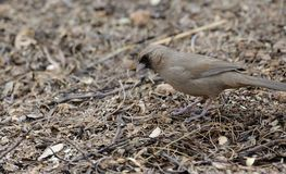 Abert`s Towhee Foraging. On ground for seeds and insects, Tucson, Arizona Stock Photos