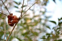 Aberto quebrado fruto da romã na árvore fotografia de stock