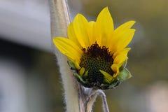 Abertura amarilla del girasol Imagen de archivo libre de regalías