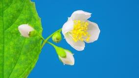 Abertura blanca de la flor del jazmín almacen de metraje de vídeo
