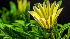 Abertura da flor do Gerbera filme