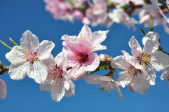 Abertura da flor do pêssego com vermelho brilhante Foto de Stock