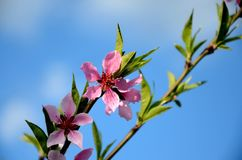 Abertura da flor do pêssego com vermelho brilhante Fotografia de Stock
