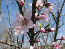 Abertura da flor do pêssego com vermelho brilhante Imagens de Stock Royalty Free