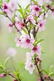 Abertura da flor do pêssego com vermelho brilhante Fotos de Stock Royalty Free