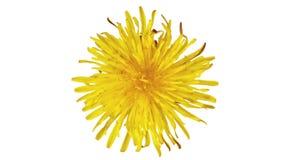 Abertura da flor em botão do dente-de-leão, na flor Vídeo do lapso de tempo filme