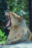 Abertura da leoa larga Fotografia de Stock Royalty Free