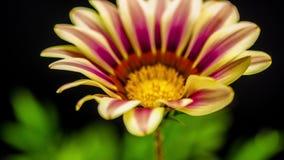 Abertura de la flor del Gerbera metrajes