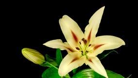 Abertura de la flor del lirio almacen de metraje de vídeo