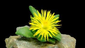 Abertura de la flor de Faucaria