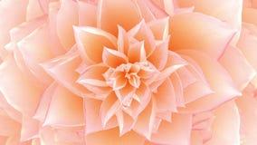Abertura de la flor rosada colocado ilustración del vector