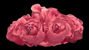 Abertura de la rosa de dos rosas, rosas rosadas florecientes con mate alfa almacen de video