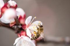 Abertura del flor del melocotón con rojo brillante Imágenes de archivo libres de regalías