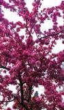 Abertura del flor del melocotón con rojo brillante Fotos de archivo