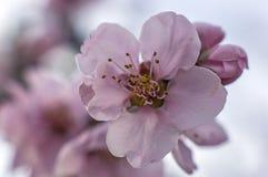 Abertura del flor del melocotón con rojo brillante Foto de archivo libre de regalías