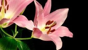 Abertura rosada de la flor de Lilly metrajes