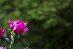 Abertura rosada de la peonía Imagen de archivo