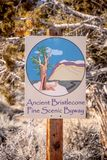 Abetaia antica di Bristlecone - PINO SOLO CA, U.S.A. - 29 MARZO 2019 fotografie stock