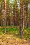 Abetaia in autunno in anticipo Fotografia Stock Libera da Diritti