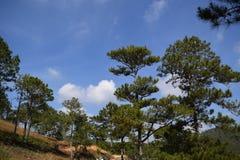 Abetaia con cielo blu e le nuvole bianche in Dalat, Vietnam Fotografia Stock