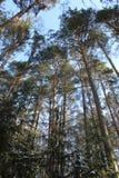 Abetaia contro il cielo blu Fotografia Stock