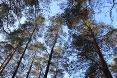 Abetaia contro il cielo blu Fotografia Stock Libera da Diritti