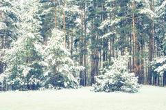 Abetaia coperta di neve Fotografia Stock Libera da Diritti