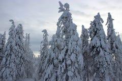 Abetaia di inverno Fotografia Stock Libera da Diritti