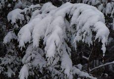 Abetaia di inverno della Nuova Inghilterra dopo la tempesta della neve Immagine Stock