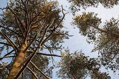 Abetaia di inverno, rami di albero in neve, cime degli alberi Immagini Stock