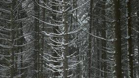 Abetaia di inverno in un giorno nevoso stock footage