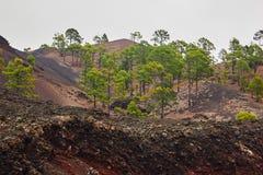 Abetaia e strada attraverso le rocce della lava nel parco nazionale di EL Teide Immagini Stock Libere da Diritti