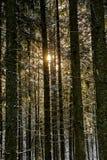 Abetaia innevata alla luce di alba di inverno Immagini Stock Libere da Diritti