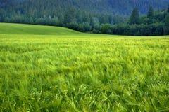 Abetaia in montagne della regione selvaggia con l'agricoltura del campo di grano Immagini Stock