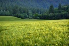 Abetaia in montagne della regione selvaggia con l'agricoltura del campo di grano Fotografia Stock