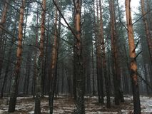 Abetaia nebbiosa di inverno di mattina Fotografia Stock Libera da Diritti