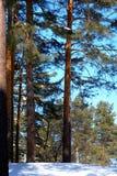 Abetaia siberiana nell'inverno un chiaro giorno soleggiato Fotografie Stock