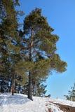 Abetaia siberiana nell'inverno un chiaro giorno soleggiato Fotografie Stock Libere da Diritti