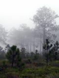 Abetaie sull'alta montagna in Tailandia Fotografia Stock Libera da Diritti