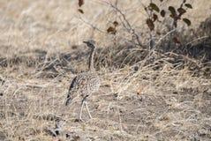 Abetarda de crista encarnada & x28; Ruficrista& x29 de Lophotis; nas planícies de África fotografia de stock