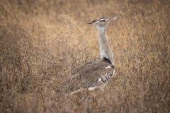 Abetarda de Kori no parque nacional de Ngorongoro (Tanzânia) Fotos de Stock Royalty Free