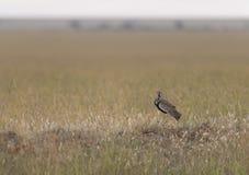 abetarda Preto-inchada, Masai Mara, Kenya imagem de stock