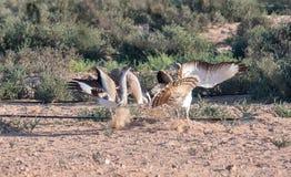 Abetardas de Houbara que lutam pelo direito de acoplar-se no deserto de Dubai, UAE Imagem de Stock