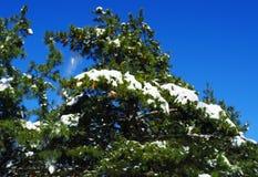 Abete coperto di neve Fotografia Stock Libera da Diritti