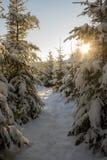Abete di inverno nella foresta della neve Fotografia Stock Libera da Diritti