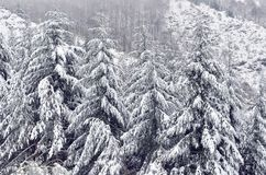 Abete di Snowy. Immagine Stock Libera da Diritti